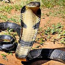 3, キングコブラ